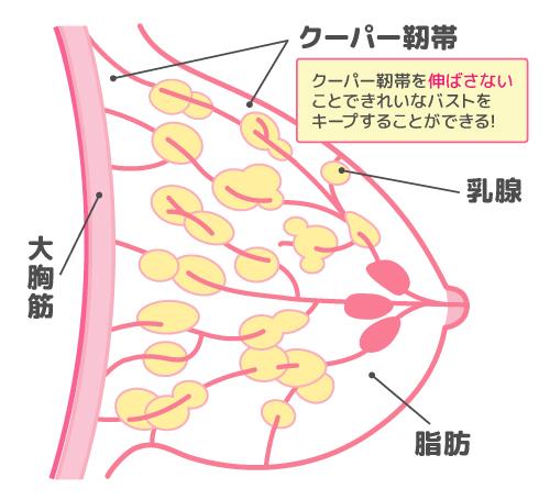 クーパー靭帯の説明