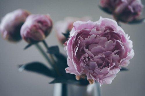 シャクヤクの花の画像
